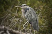 Great Blue Heron, Fort Bragg
