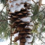 """""""Powedered Pinecone"""" by shepweb"""