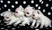 Fab Four Puppies