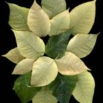 """""""White Poinsettia 2"""" by LindaCavaney"""