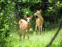 fawns1