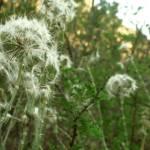 """""""Dandelions"""" by emmajuhlin"""