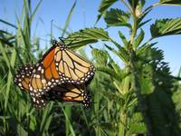 monarchs mating1