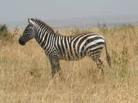 Zebra w/ bird on back