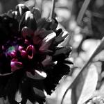 """""""Red Dahlia      0419 Desaturated Edition"""" by BarbaraLin"""
