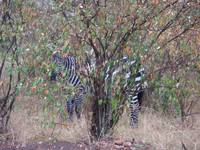 Zebra hiding behind tree