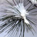 """snowy pine needles"" by mcinallysphotos"
