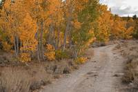 Aspens and Roadway II, Sierra Nevadas