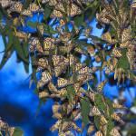 """""""Monarchs"""" by bethsargent"""