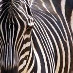 """Zebra Stripes"" by JMcQ"