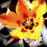 """""""Tulip"""" by klynn"""