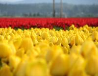 Depth of Tulip Field 3