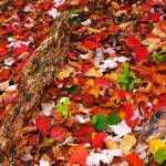"""TN_Smokies_RoaringForkTrailLeaves_110207"" by annmerritt"