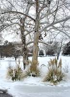 Pampas grass in snow