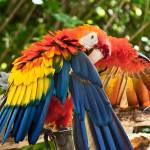 """Red, Orange, Yellow and Blue Bird -  Scarlet Macaw"" by mjphoto-graphics"