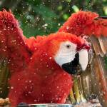 """Scarlet Macaw Antics - Birds"" by mjphoto-graphics"