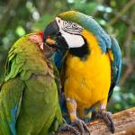 """Green, Blue and Gold Birds - Macaws in  Love"" by mjphoto-graphics"