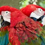 """Red, Green, Blue Birds - Twin Macaws"" by mjphoto-graphics"