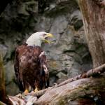 """Bald Eagle, Symbol of Freedom, Brown, White, Birds"" by mjphoto-graphics"