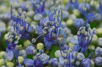 blueblooms2