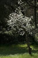 Ancient Pear Tree in Spring, Coloma