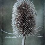 """Teasel"" by JohnEdwards"