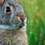 """""""Wild Rabbit"""" by ADrauglis"""