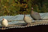 Guinea Hens on a Tin Roof
