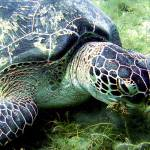 """""""GreenSeaTurtleCloseup-2"""" by Thermocline"""