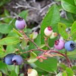 """Blueberries"" by psupuma"