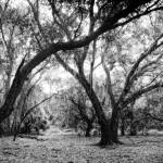 """Florida Oak Hammock"" by heathergreen"