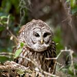 """Barred Owl"" by heathergreen"
