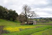 20100305 Napa Valley Mustard Blooms by Tom Spaulding