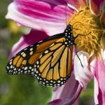 """Monarch Butterly on a Dahlia Blossom"" by Tom_Debley"
