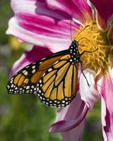 Monarch Butterly on a Dahlia Blossom