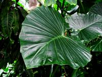 Giant Tropical Leaves