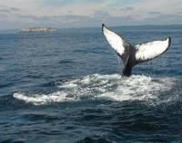 Humpback whale tail near Bay Bulls