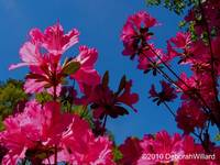 Azaleas Meet and Greet the Blue Sky