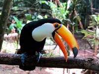 Tucan in Animal Refuge - Iguazu, Argentina