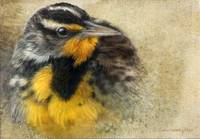 winter meadowlark