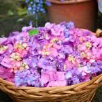 """""""Basket of Hydrangea Flowers"""" by johncorney"""