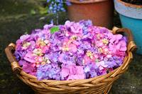 Basket of Hydrangea Flowers