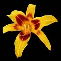 Yellow Daylily on Black