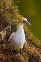 Northern Gannet (Morus bassanus) sitting on cliff