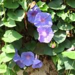 """Purple flower of Thailand"" by photorose"