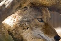 Coyote Closeup II, Folsom Zoo