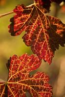 Red Grape Leaves, Apple Hill, El Dorado County