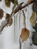 Icy Rose Bush