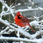 """Cardinal on Snowy Branches"" by ReidKasprowicz"