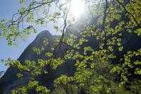 Spring Oak Leaves and Half Dome,Yosemite